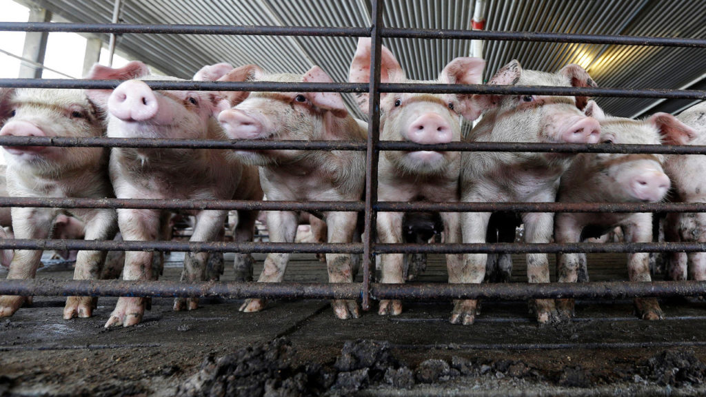 FILE -This July 21, 2017 file photo shows young hogs at Everette Murphrey Farm in Farmville, N.C. A federal lawsuit starting in April 2018, in the country's No. 2 pork-producing state is the first of a string of cases deciding whether open-air animal waste pits are such a nuisance that neighbors can't enjoy their own property.  The North Carolina trial's outcome could shake the profits and change production methods of pork producers who have enjoyed legislative protection and promotion in one of the nation's food centers.   (AP Photo/Gerry Broome)